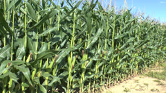 Field of maize/corn growing in northern France - stock footage