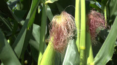 A female corn with silk in a field of maize/corn growing in northern France. Stock Footage