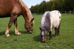 Horse and pony in the meadow in the paddock Stock Photos