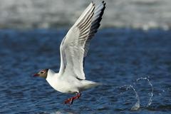 Gull in flight - stock photo