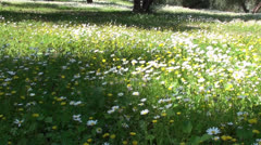 Daisies under the light of the sun - stock footage