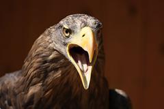 Screaming eagle, sea eagle (haliaeetus albicilla) Stock Photos
