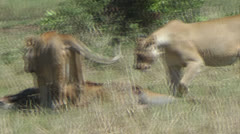 Lioness with antelope prey Stock Footage
