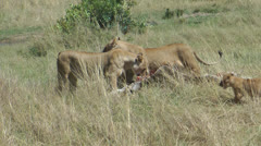 Lionesses devouring prey Stock Footage