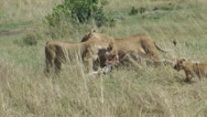 Stock Video Footage of Lionesses devouring prey