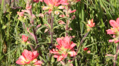 Honeybees on Indian Paintbrush II Stock Footage