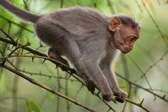 small macaque monkey walking in bamboo forest. animal in wild, south india - stock photo