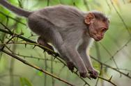 Stock Photo of small macaque monkey walking in bamboo forest. animal in wild, south india