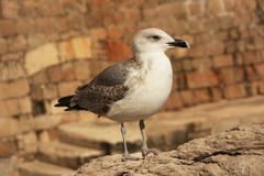 Sea gull (larus sp.) Stock Photos
