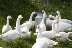 Domestic geese Stock Photos