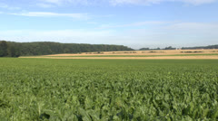 Field of maize/corn growing in northern France Stock Footage