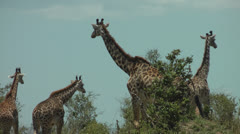Girafes in Africa Stock Footage