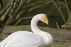 Whooper swan, cygnus cygnus Stock Photos