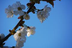 Blue sky and white cherry blossom Stock Photos
