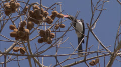 Bird in tree, eating fruit. Niassa Reserve, Mozambique. Stock Footage