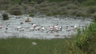 Stock Video Footage of Lesser Flamingo