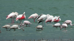 Lesser Flamingo Stock Footage