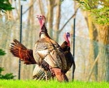 wild turkey - stock photo