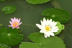 white lotus in shady pond and other small. - stock photo