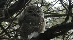 Northern Saw Whet Owl 1080p Stock Footage