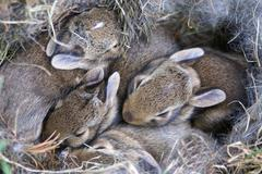 baby bunnies huddled in their nest - stock photo