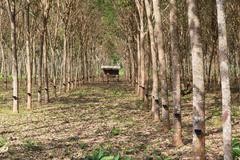 rubber tree - stock photo