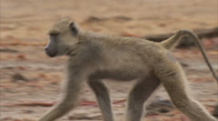 Female adult Savanna Baboon walking in Niassa Reserve, Mozambique. Stock Footage