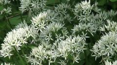 Ramsons, Allium ursinum blooming - full screen Stock Footage