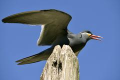 Inca tern perched on wood post Stock Photos