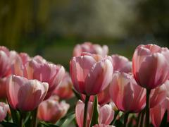Pink Tulips in Boston - stock photo