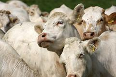 White cows Stock Photos