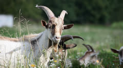Visited a herd of goats on the meadow Stock Footage