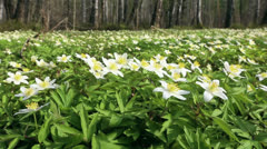 First flowers in a forest Stock Footage