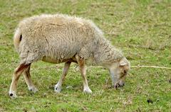 Sheep eating grass - stock photo