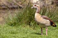 Stock Photo of Egyptian Goose on grass