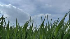 Green grass swaying in the wind. - stock footage