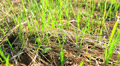 Green grass with slow camera movement. Dolly shot HD Footage