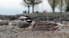 Mallard duck male and female Leman lake switzerland Stock Footage