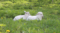 two baby goats - stock footage