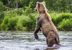 The brown bear fishes Stock Photos