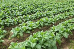Tupakka kasvi Kuvituskuvat