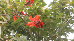 Coral tree Erythrina Stock Footage