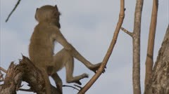 Young Savanna Baboon jumping up tree in Niassa Reserve, Mozambique. Stock Footage