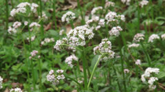 Marsh Valerian blooming in marshland - close up + zoom out field Stock Footage
