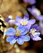 Anemone hepatica Stock Photos