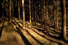 Conifers in evening light Stock Photos