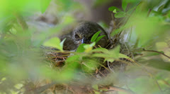 Bird in the nest - stock footage