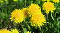 Yellow flower of Dandelion - stock footage