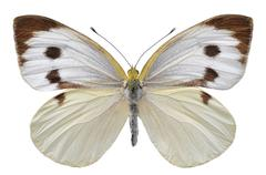 Isolated Large White butterfly Stock Photos