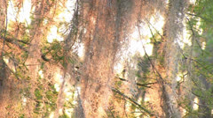 Moss in cypress tree at sunset Stock Footage